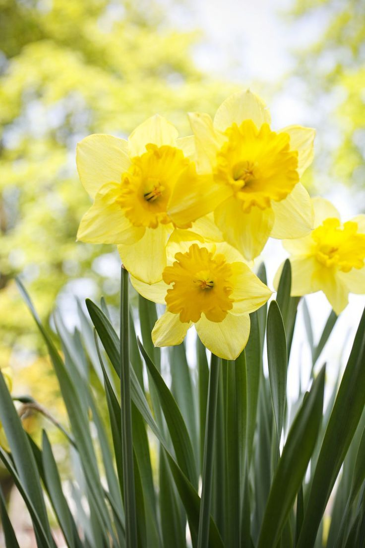 Daffodils Wallpaper Flowers In 2020 Deadly Plants Daffodil Gardening Daffodils Planting
