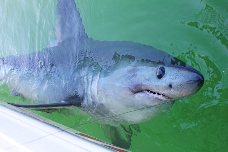 Beautiful healthy Porbeagle Shark tagged and released! #SportFishing #Shark #Conservation #Biology #Fishing