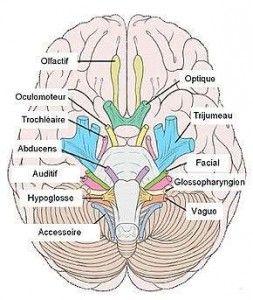 Les douze nerfs crâniens
