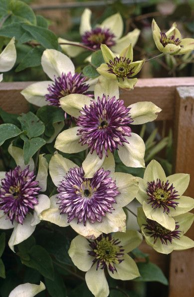 1000 images about flower vines on pinterest passion for Clematis florida