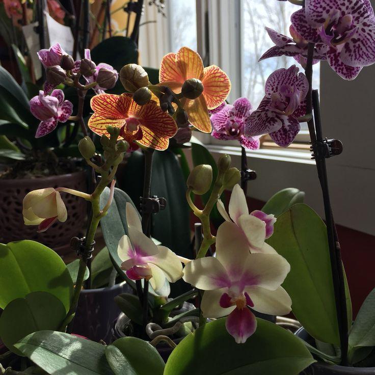 Orchids .. Mini moth orchids