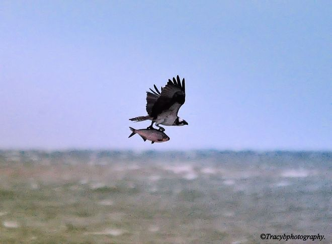 Osprey with catch, Port Dover, Ontario Photo credit: tracybphotography