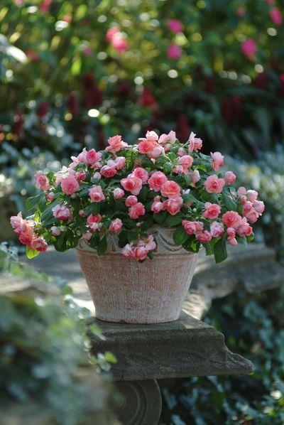 Vaso de mini rosinhas                                                                                                                                                      Mais