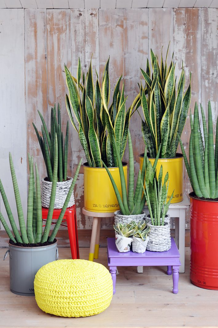 sanseveria family Love this except every planter would be white and the wall would be a solid gray.