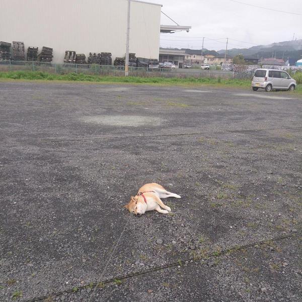 「犬は散歩嫌い!?」力いっぱい拒否する姿が愛おしくなる犬特集♡【画像7枚】   mofmo