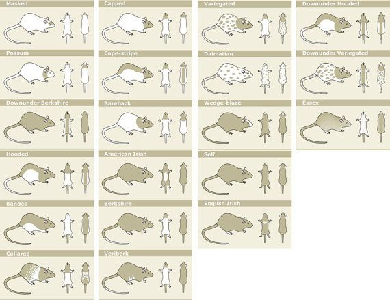 Types of rat markings ♥