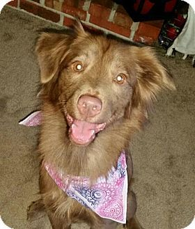 St Louis, MO - Border Collie Mix. Meet Coco, a dog for adoption. http://www.adoptapet.com/pet/17006610-st-louis-missouri-border-collie-mix