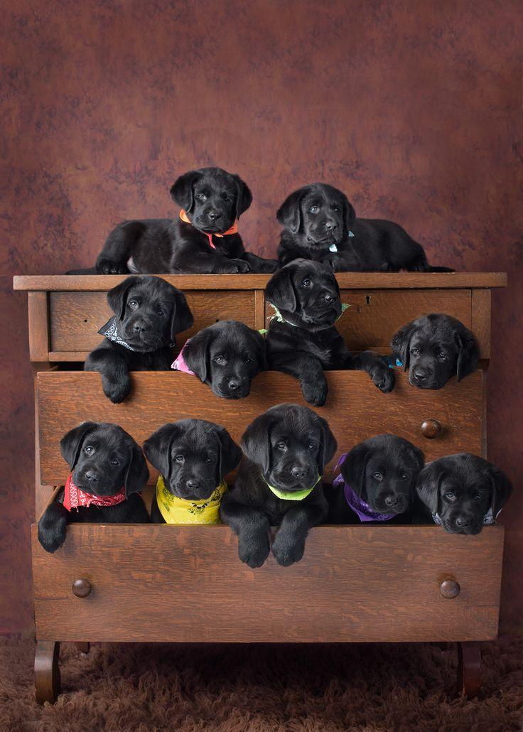 "Labradores negros bebés, ""encajonados"" ..."