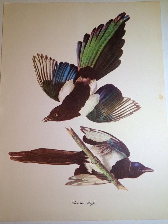 1950s John J Audubon Birds of American American Magpie Art Print 9 x 12 Commentary by Roger Tory Peterson via Etsy