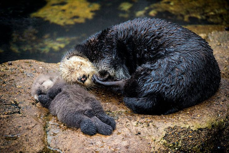 20/12/2015, Monterey California, a new born Otter sleeping with mother.