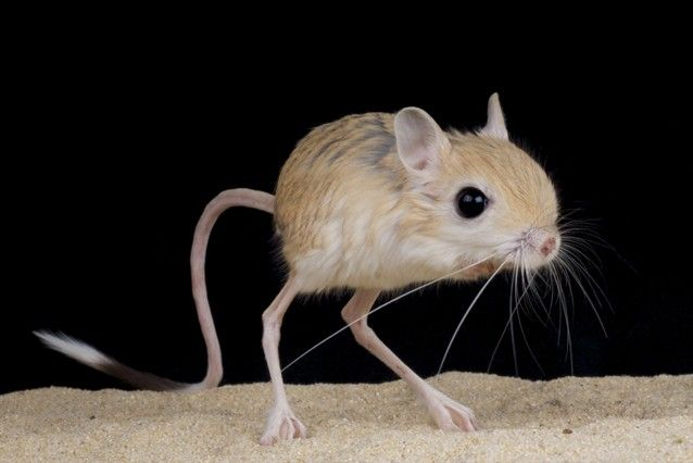 Jerboa This tiny kangaroo-like creature is the jerboa, a rodent native to desert climes across North Africa, China and Mongolia. Species of jerboa can be found from the Sahara, the hottest desert in the world, to the Gobi, one of the coldest deserts in the world.