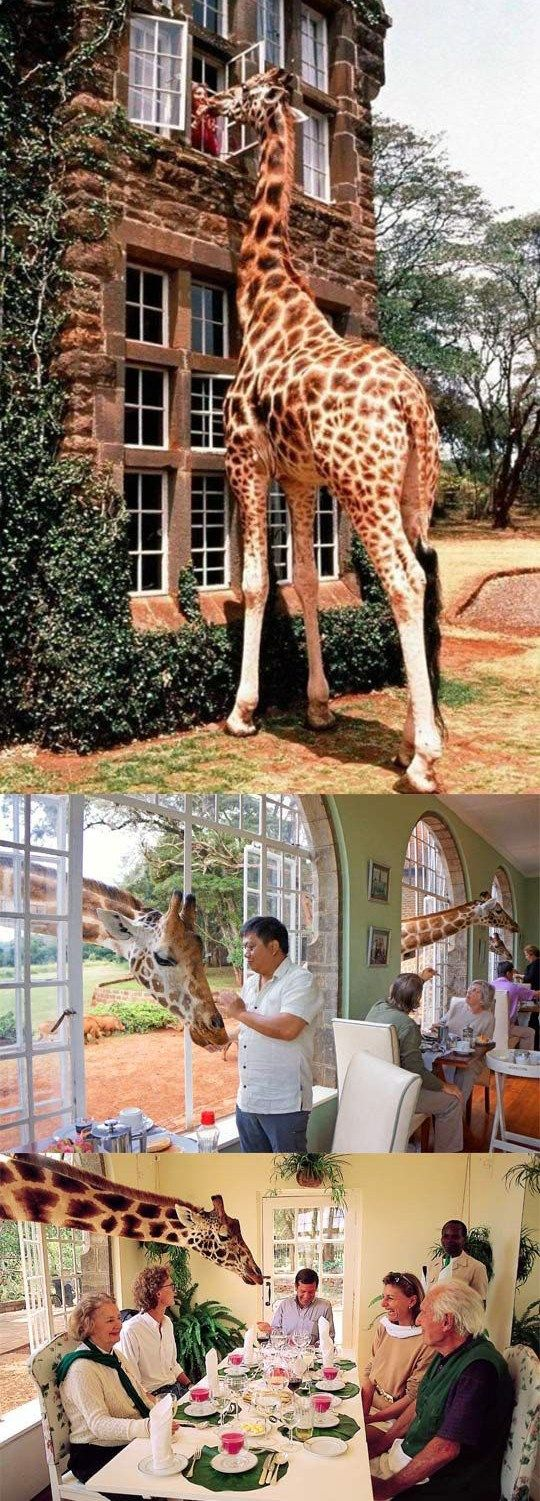 Hanging out with giraffes