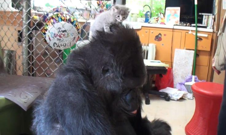 Seriously, how sweet <3http://www.theguardian.com/world/video/2015/oct/16/koko-gorilla-sign-language-kittens-video