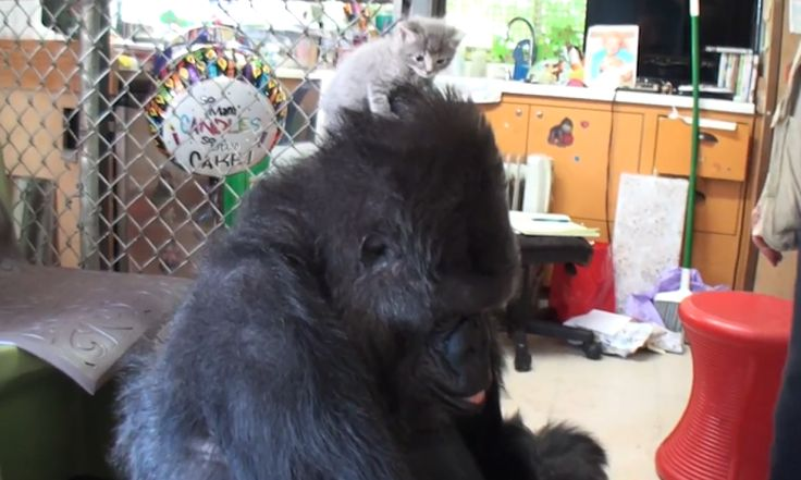 Koko the gorilla gets her birthday wish on 4 July when a litter of kittens pays her a visit at a sanctuary in Redwood City, California