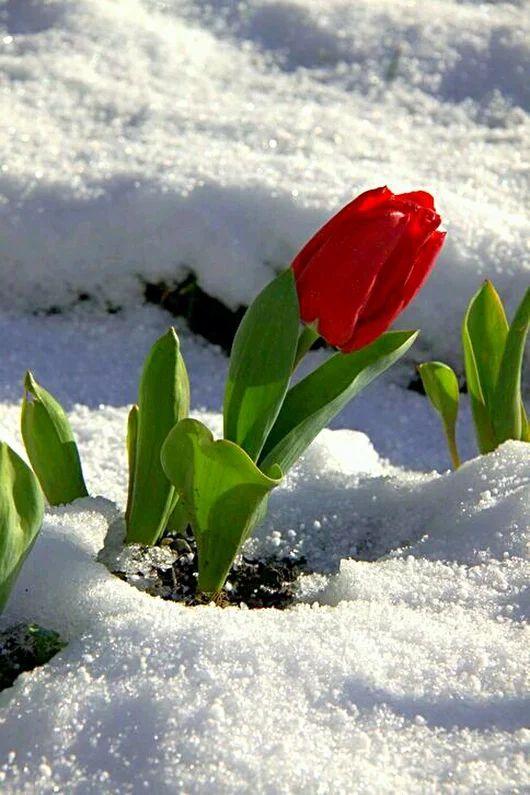 тюльпаны зимой картинки портрет холсте