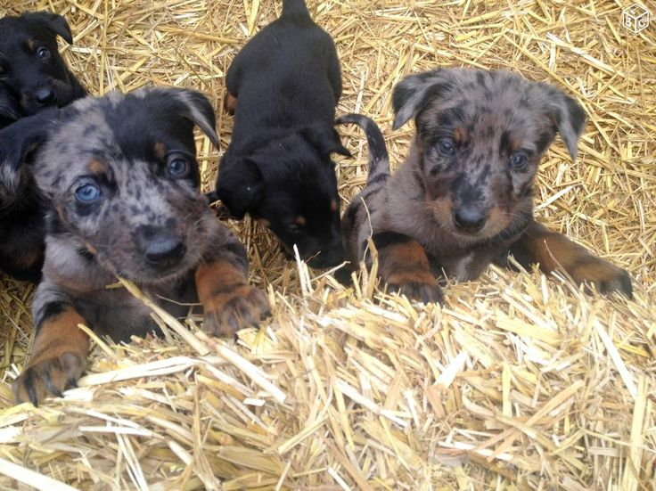 Chiens Beaucerons Animaux Eure - leboncoin.fr