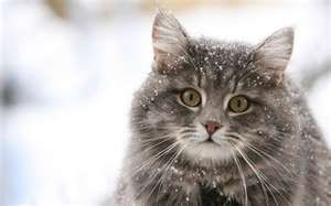 City Cat Doctor» cat,snow,winter,cat10,cats,cute ...: Norwegian Forests Cats, Cute Cats, Beauty Cats, Fat Cats, Day Quotes, Baby Cats, Winter Coats, Cats Lady, Grey Cats