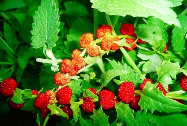 Выращивание земляничного шпината и правила ухода за ним Выращивания земляничного шпината на даче, правила ухода. Плоды земляничнго шпината также можно употреблять в пищу. Их слабовыраженный вкус компенсируется красивым внешним видом и цветом, а также обилием витаминов в составе. Из ягод готовят целебные чаи, отвары и настойки от различных заболеваний.