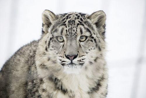 Bébé léopard des neiges (by vicky.theriault)