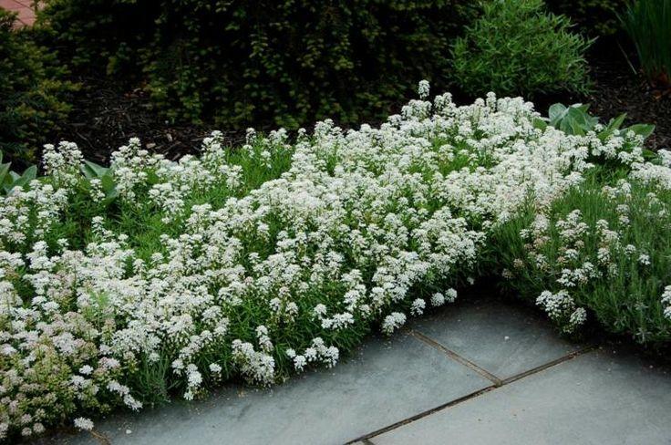 plante plein soleil ibéris blanc / Ibérides / Iberis en bordure ou massif au jardin