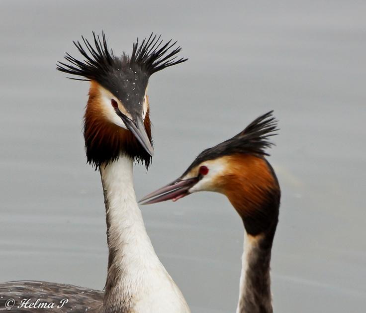 Helma's natuurfoto's: Futen in love...... Prachtig in hun liefdesbalts!