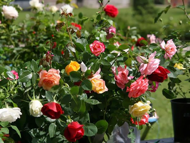 Cuándo y cómo plantar rosales