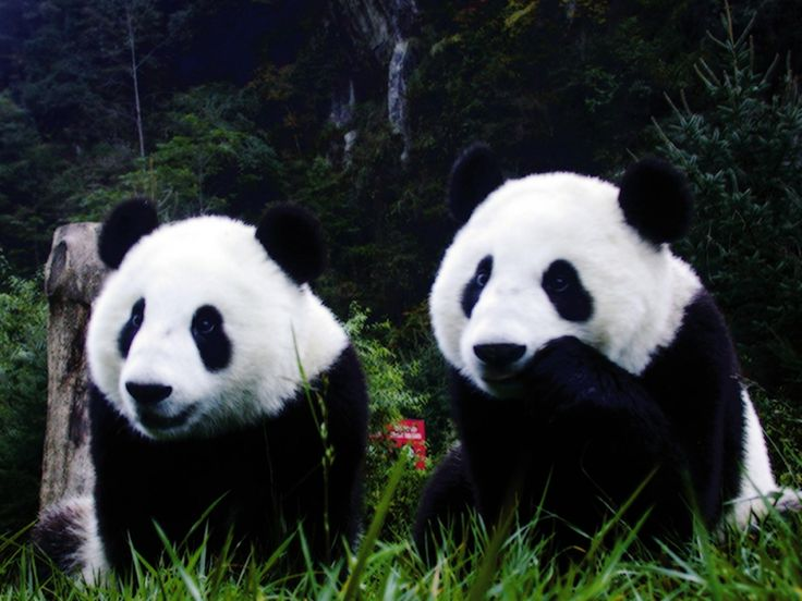 HD Cute Panda Background Tumblr.
