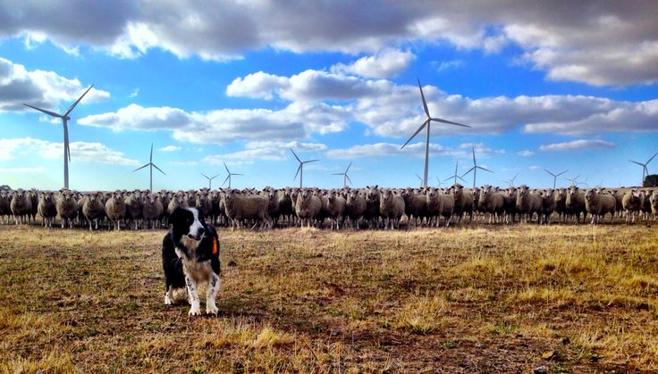Rubble the bird and bat detection dog. #windfarm #dog #bat