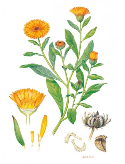 Richard Whelan ~ Medical Herbalist ~ Calendula