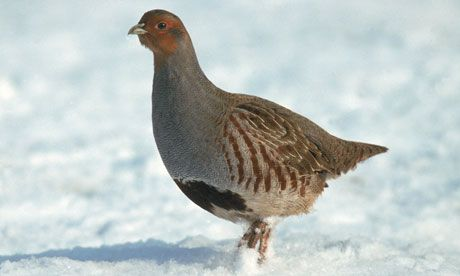 so sweet... grey partridges have declined by 90% in Britain alone. Photograph: Mike Wilkes/Nature Picture Library/Rex Features