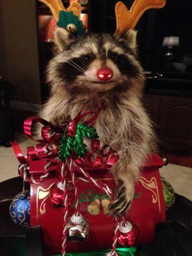Rudolph The Raccoon Christmas Taxidermy Mount On Slay With