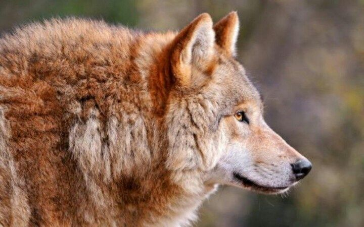 images of red wolves | Red wolf. | wolves