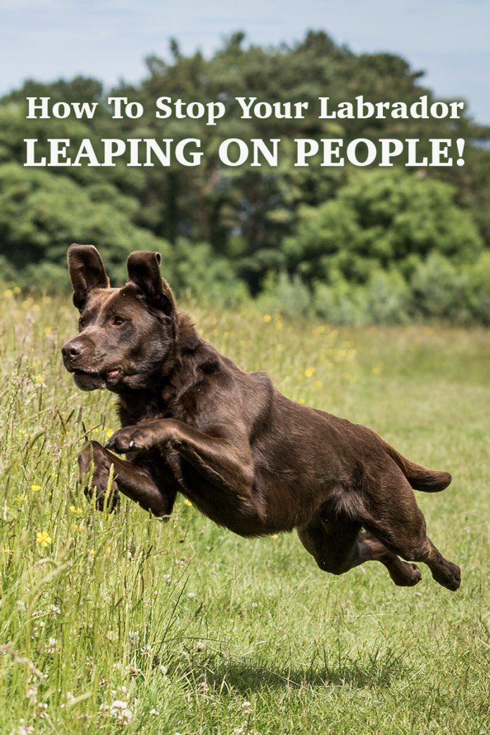 Find out how to stop your Labrador jumping on people