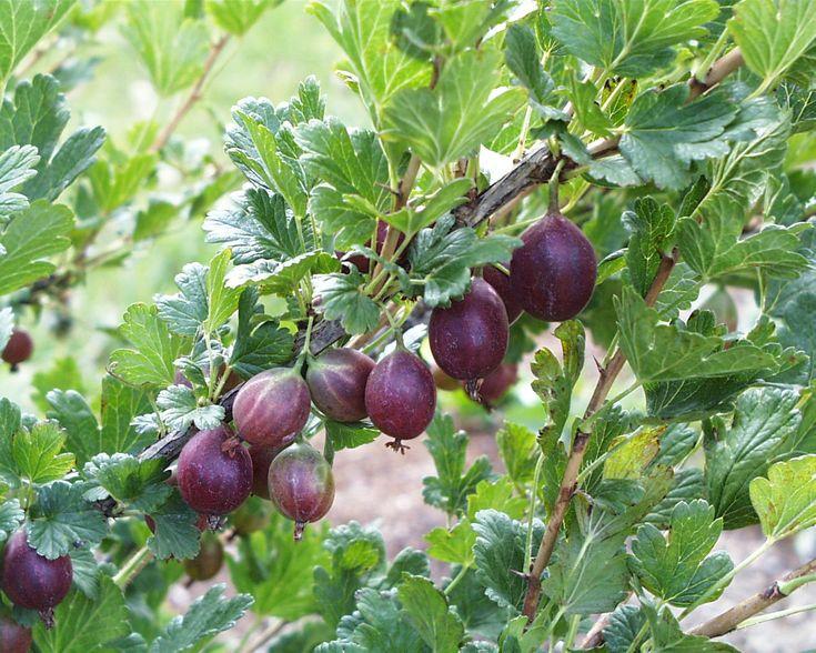 """Gooseberry, Ribes hirtellum, sun, 3' tall, soil depth deep 12"""""""