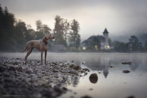 Gorgeous weimeraner photo!  From Anne Geier on little-fox-adventures.tumblr.com. #dogs #dogbreeds