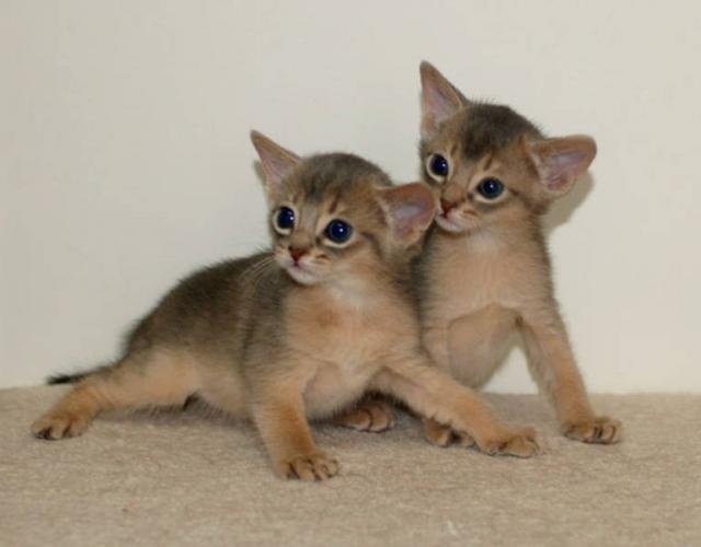 Abyssinian cat for sale calgary