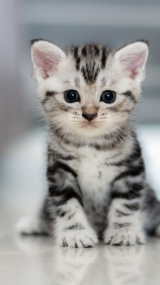 I Pray This One Is True Sunday Godisgood Cute Baby Cats American Shorthair Cat Bengal Cat Facts