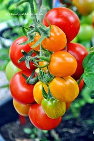 colorful tomates