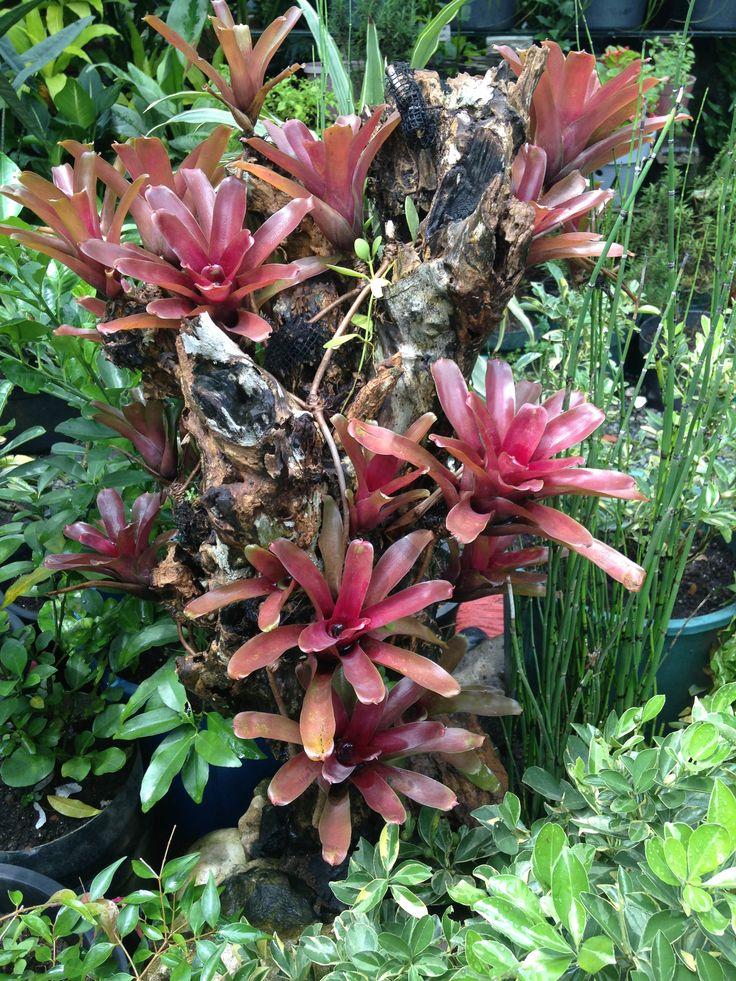 "Bromeliads How To Keep The Color Going: Neoregelia ""Fireball"" Plants Are Brazilian Bromeliads That"