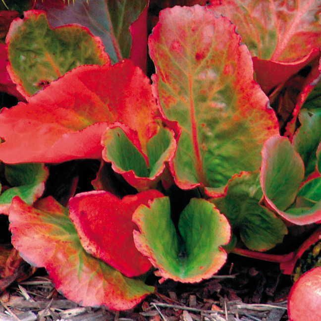 17 Best Images About Bergenia On Pinterest