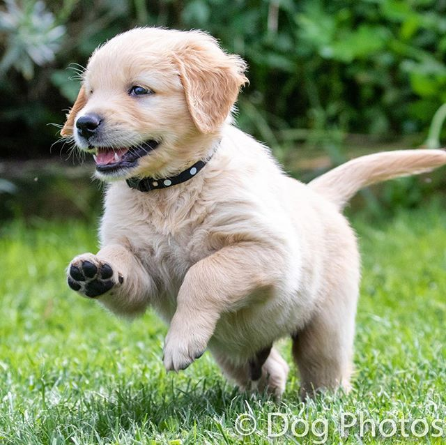 Leaping Into Thursday With Eveninghill Golden Retrievers