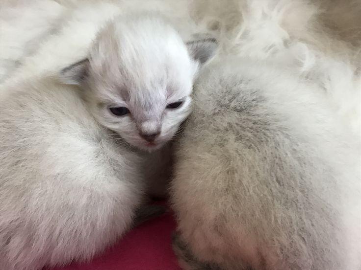 2 weken oud ragdoll kitten