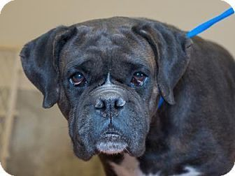 Pictures of Taylor a Boxer Mix for adoption in Colorado Springs, CO who needs a loving home.