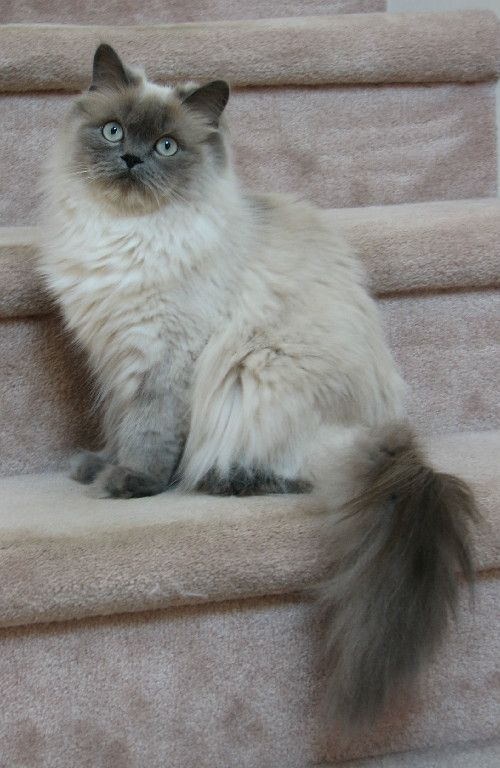 A full grown Blue point Himalayan. Notice the color points on all four paws extending up the legs.