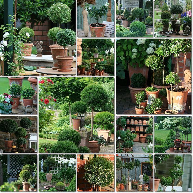 Myrtus communis - Wohnen und Garten Foto from  http://foto.wohnen-und-garten.de/Myrtus-communis-neu-foto-186645-15.html