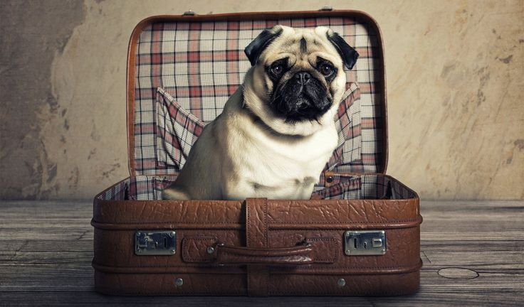 If you own dogs, you know that traveling with your four-legged friend can sometimes be stressful. Whether it is just a few hours' drive or a four hour flight, there are several things that you can do to make a trip with your canine much more enjoyable for the both of you. #dog #travel #tips #traveling #dogs #pets #flight