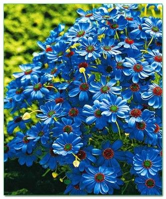 Brachycome Brachy Blue
