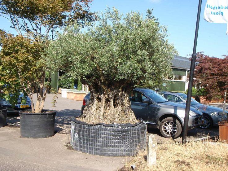 10 best mediterrane gartenpflanzen images on pinterest garden plants lagerstroemia and - Gartenpflanzen straucher ...
