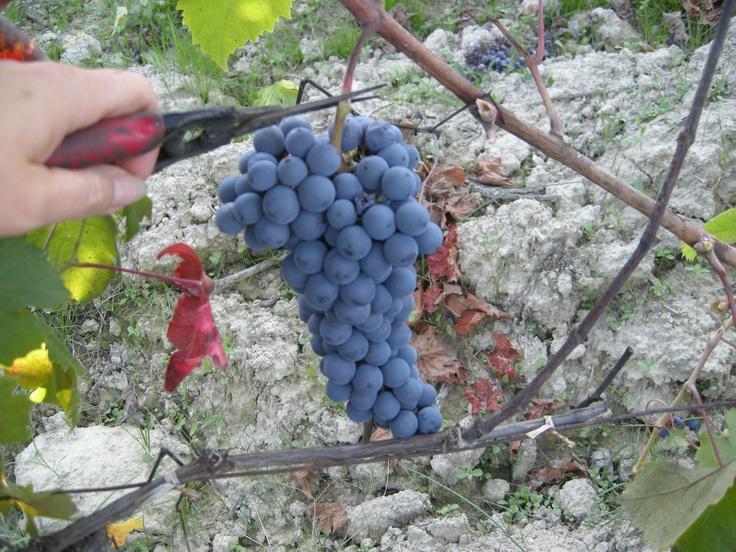 grapes harvest in Tacchino Raffaele wineyards