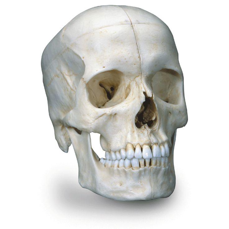 Modèle anatomique Crâne BONElike™ en 6 parties, structures osseuses détaillées